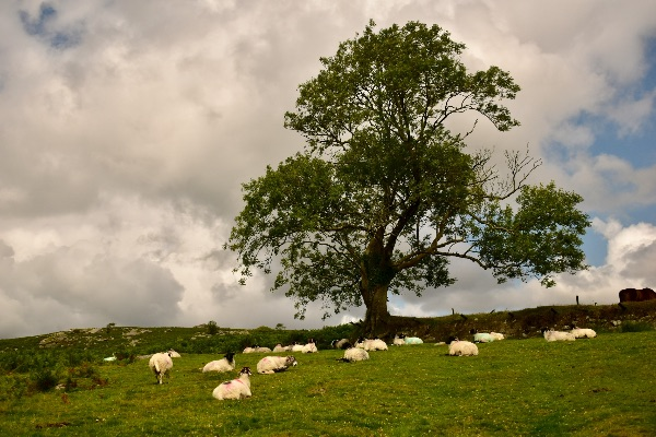 Sheep & tree near Sampford Spiney August 2017.