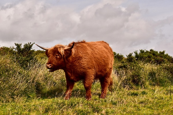 Highland cow near Brentor September 2017