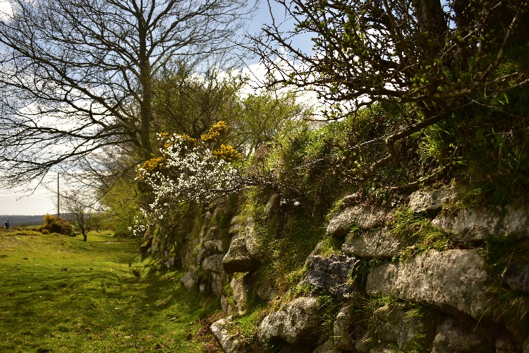 Flowering blackthorn near pew tor April 2017