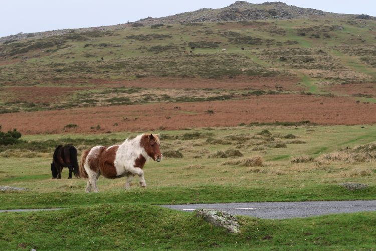Dartmoor pony and Cox Tor, December 2015.