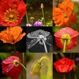 Poppy collage June 2017