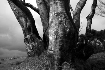 Beech At Merrivale Dartmoor