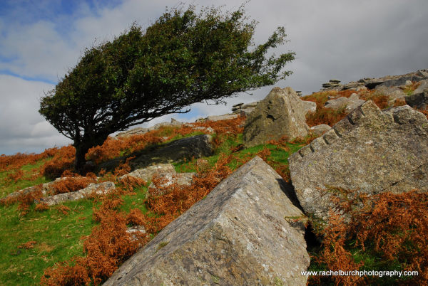 Hawthorn and Quarrystone Bodmin Moor Cornwall
