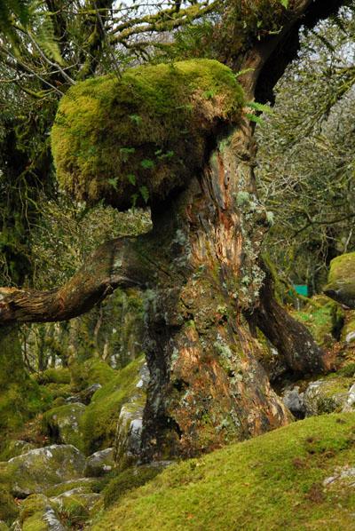 Grand Oak Wistmans Wood