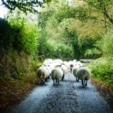Sheep in Moortown lane, Dartmoor. November 2014.