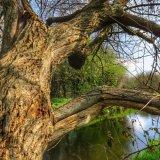 Willow on Tavistock canal
