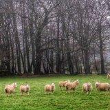 Sheep near Pew Tor Dartmoor