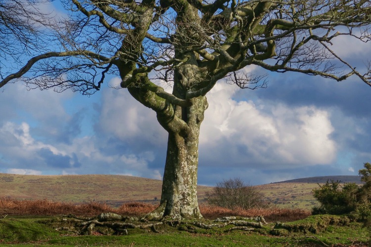 Beech tree Plasterdown, Dartmoor Feb 2016