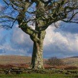 Beech tree Plasterdown, Dartmoor Feb 2016