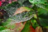Cobweb and raindrops.