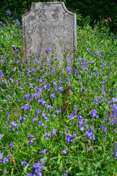 Bluebells in Quaker churchyard, Tavistock May 2015.