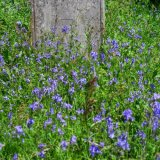 Bluebells in Quaker churchyard, Tavistock May 2015.