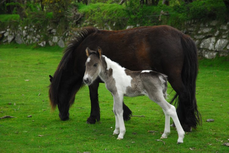 Ponies near Pew Tor May 2014.