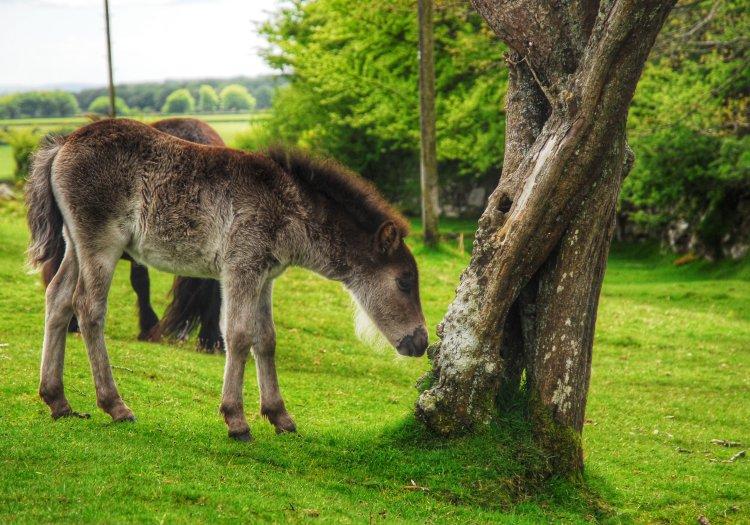 Pony and hawthorn tree, Pew Tor Dartmoor