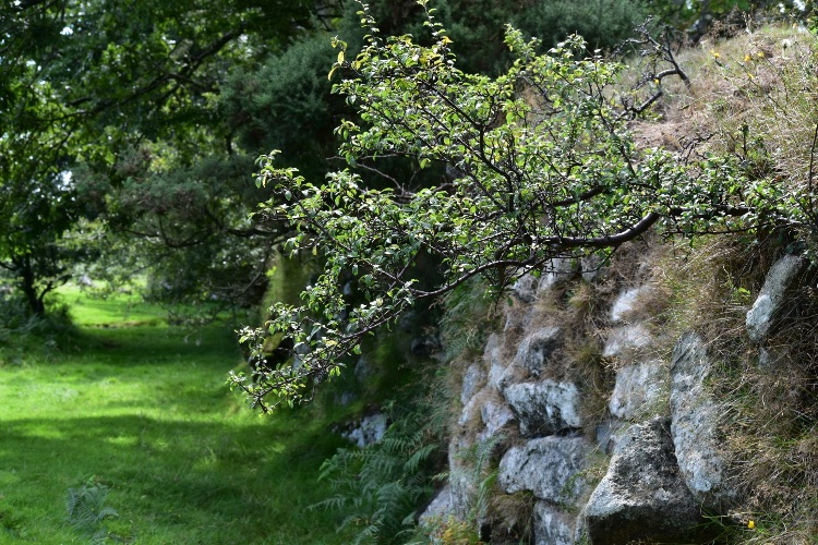 Hawthorn in dry stone wall, near pew tor, Dartmoor, July 2016.