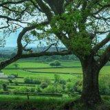 Green oaks near Pew Tor Dartmoor