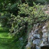 Hawthorn in dry stone wall, near pew tor, Dartmoor, July 2016.