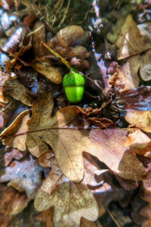 Acorn in Walkham Valley woodland, September 2015.