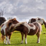 Ponies near Whitchurch down, Dartmoor,