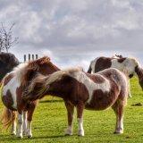 Ponies near Whitchurch down, Dartmoor,