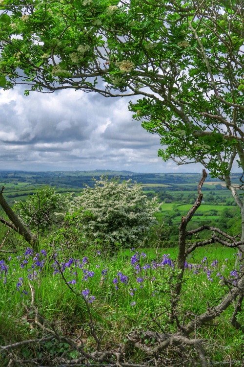Bluebells on bank near pew tor Dartmoor May 2015
