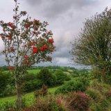 Rowan tree near Mary Tavy, August 2015.