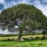 Willow tree and sheep on Plasterdown, Dartmoor.