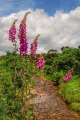 Foxgloves near Grimstione and Sortridge Leat Dartmoor.