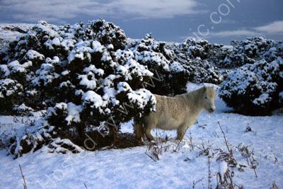 Pony near Pew Tor Dartmoor
