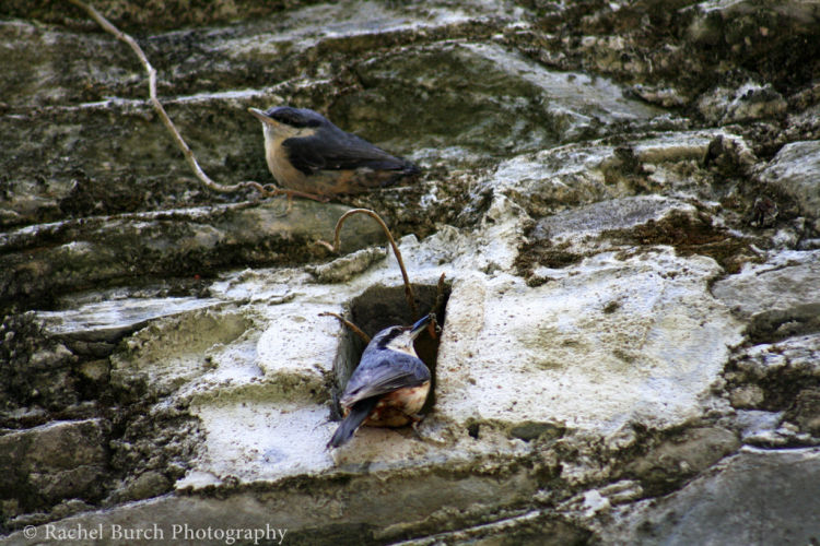 Nuthatches leaving the nest in Tavistock Devon