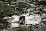 Nuthatches leaving the nest in Tavistock Devon