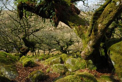 Wistmans Wood Dartmoor March 2011