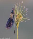 Demoiselle Female