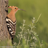 Hoopoe At Nest