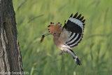 Hoopoe Returning To Nest 1