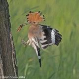Hoopoe Returning To Nest 2