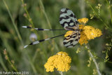 Nemoptera Sinuata 2