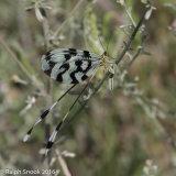 Nemoptera Sinuata 3