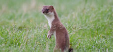 Lookout Stoat