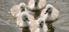 Cygnet Five