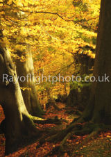 Autumn at Ashridge