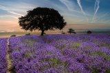 West Hde Lavender