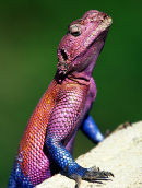 Red -headed Agama
