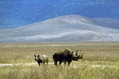 Rhinos, Ngorongoro