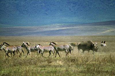 Rhino chasing Zepras, Ngorongoro