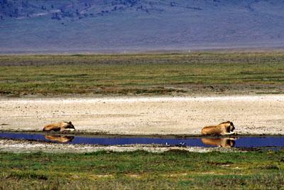 Lions resting, Ngorongoro