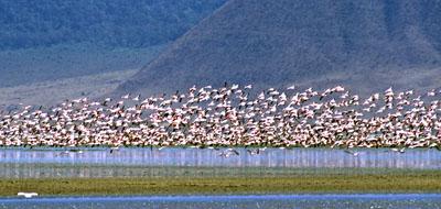 Flamingo flock, Ngorongoro