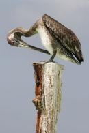 Pelican relaxing