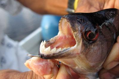 Piranha jaws