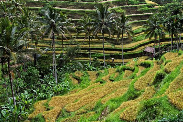 Rice Hut